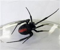 横浜市のセアカコケグモ