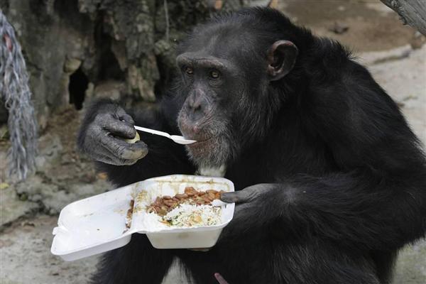 スプーンを使うチンパンジー