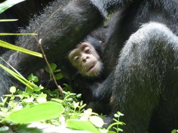 産経WESTダウン症のチンパンジー、母と姉がケア 野生で初めて観察に成功・京大サイトナビゲーション産経WEST産経WESTPRダウン症のチンパンジー、母と姉がケア 野生で初めて観察に成功・京大PRPRPRご案内PRPR「産経WEST」のランキングPR産経スペシャル今週のトピックスPR