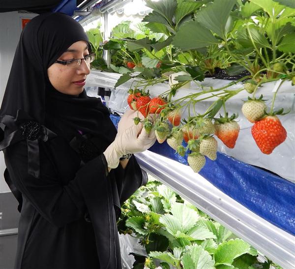 シャープ、中東にイチゴ植物工場 コンテナで栽培(1 2ページ) 産経west