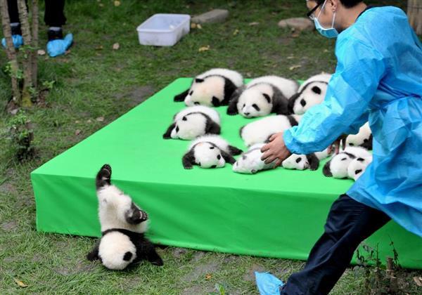 中国の赤ちゃんパンダ