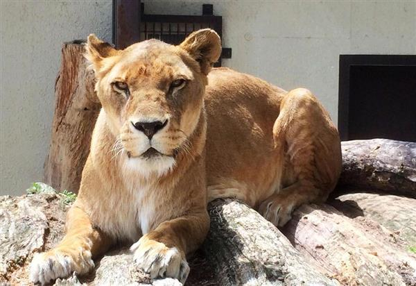 ライオンの画像 p1_18