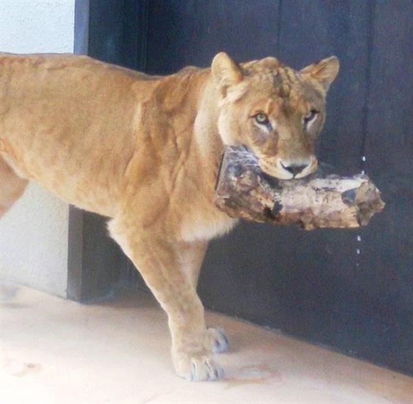 ライオンの画像 p1_19