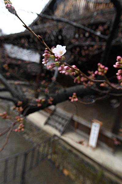 靖国神社にある標準木に咲いた桜の花=21日午前、東京都千代田区(宮川浩和撮影)