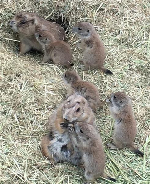 長野・須坂市動物園のプレーリードッグ 五つ子赤ちゃん ...