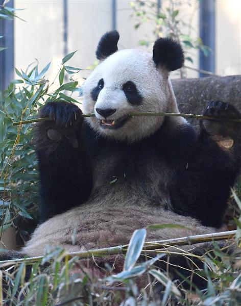 上野動物園のパンダ「シンシン」...