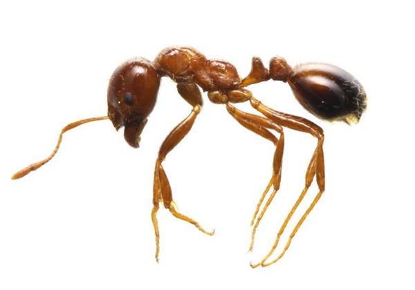 強い毒を持つ南米原産のアリ「ヒアリ」(環境省提供)