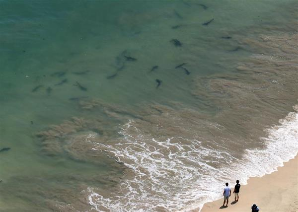 久慈浜海水浴場で確認されたドチザメとみられるサメ=19日正午ごろ、茨城県日立市(茨城県警提供)