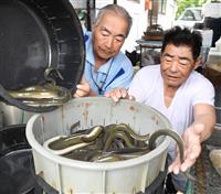 ウナギの大漁に沸く川取り戻したい 岐阜の漁師