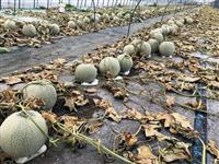 除草剤がまかれメロン6600個が収穫不能になった寺坂農園のビニールハウス=北海道中富良野町(同農園提供)