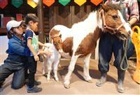 「いろは」と命名されたポニーの赤ちゃん(中央)と母親の「ホップ」=三重県伊賀市