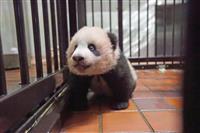 【動画あり】シャンシャン、生後4カ月 柵に前足かけてつかまり立ちも 上野動物園のパンダ