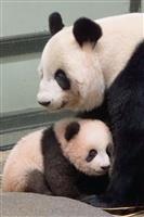 【上野パンダ】ママ大好き、後追いも シャンシャン生後130日「いろいろなものに興味」