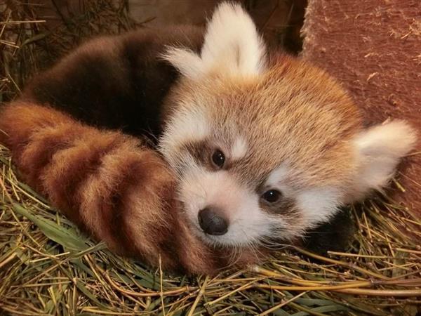 レッサーパンダの赤ちゃん、どんな名前かな 投票受付中 埼玉・東松山のこども動物自然公園 , 産経ニュース