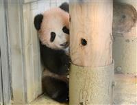 【動画あり・上野パンダ】歩く姿もシャンシャンと 生後140日