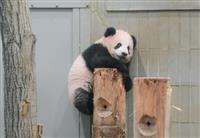 【動画あり】ジャイアントパンダのシャンシャン生後150日 ママもビックリ 木登りだって…