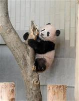 【上野パンダ】木登り上手でしょ シャンシャン生後160日