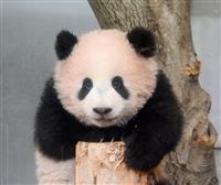 シャンシャン、12月19日から一般公開 来年1月までは抽選 上野のジャイアントパンダ赤…