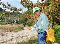 たわわな柿があるのに「手が届かない」…九州北部豪雨被害で畑へ通じる道路寸断、柿の出荷断…