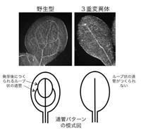 【坂口至徳の科学の現場を歩く】植物「道管」づくり複数遺伝子が分担、初解明 光環境に適応…