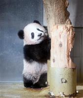 シャンシャン24万組超応募、1日最大144倍 東京・上野動物園のパンダ