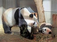 【上野パンダ】(動画あり)シャンシャン、年内の観覧希望25万件 「おびえさせない」…閲…
