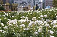 【うめきたガーデン】純白の花畑「雪の丘」が見ごろ迎える 大阪・梅田うめきたガーデン