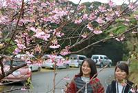 ピンクの花ほころぶ 奄美でヒカンザクラが開花
