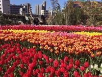 【うめきたガーデン】一足早い「春」、楽しんで! 2月3日からチューリップ祭