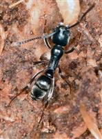 【びっくりサイエンス】日本の在来アリが米国で大繁殖 食性変えて現地アリを駆逐 巣の数は…