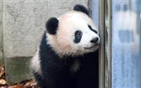 2月1日からシャンシャンを先着順公開 東京・上野動物園