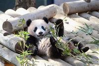 上野のパンダ・シャンシャン、3月20日の開園記念日は抽選に