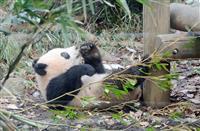 上野のパンダ、シャンシャン親子が「アースアワー」サポーターズに