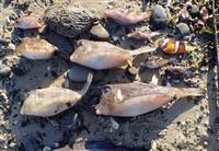 【関西の議論】凍死の熱帯魚が大量漂着、サンゴは白化…あまりの寒さが引き起こす海の異変