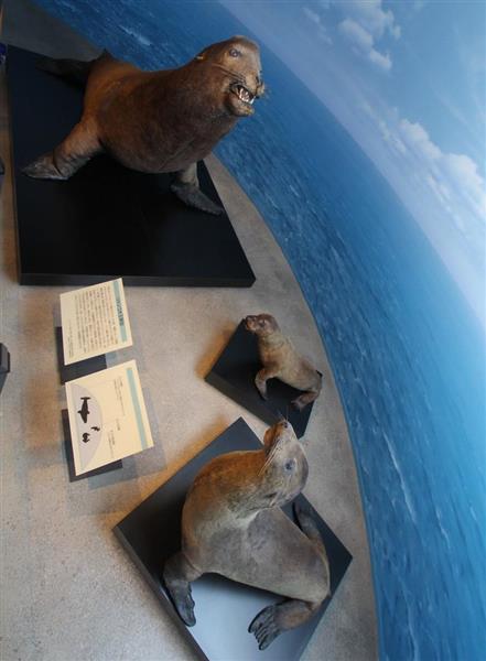 ここにある「竹島」】ニホンアシカの剥製、かつての漁のあかし…島根 ...