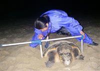 ウミガメ保護団体解散へ 屋久島、担い手確保できず