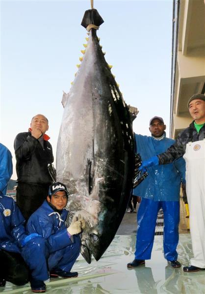 クロマグロ過去最大記録更新 450キロ・274センチ、刺し身3千人分 和歌山・勝浦漁港に巨大マグロ水揚げ - 産経ニュース