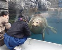 鶴岡で漂着のキタゾウアザラシ、一般公開始まる