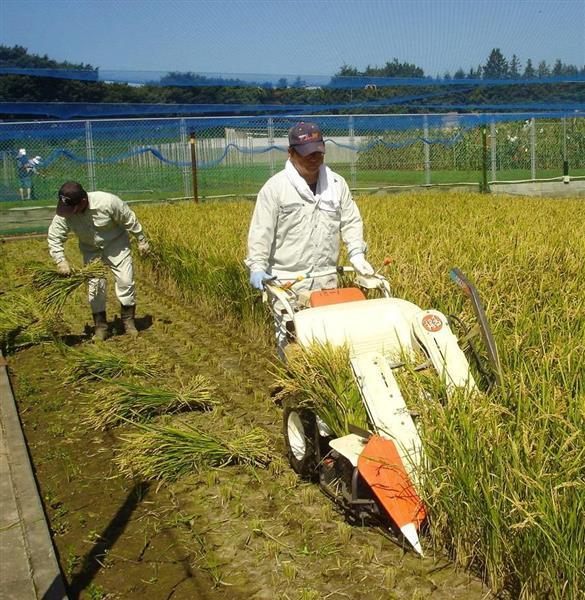 花粉米を収穫するスタッフ。見た目は普通の米と変わらない(農研機構提供)