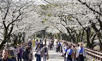 熊本城「行幸坂」の桜満開 週末のみ通り抜け可能