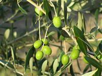 【日本再発見 たびを楽しむ】日本初のオリーブ新品種誕生~小豆島(香川県)