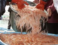 透き通る「富山湾の宝石」シロエビ初水揚げ 全国で唯一の専門漁