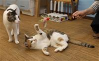 【関西の議論】ブームの影で増加「保護猫カフェ」の厳しい実情…医療費・エサ代 動物愛護は…