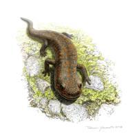 新種の両生類化石見つかる 石川、約1億3千万年前の白亜紀前期地層から