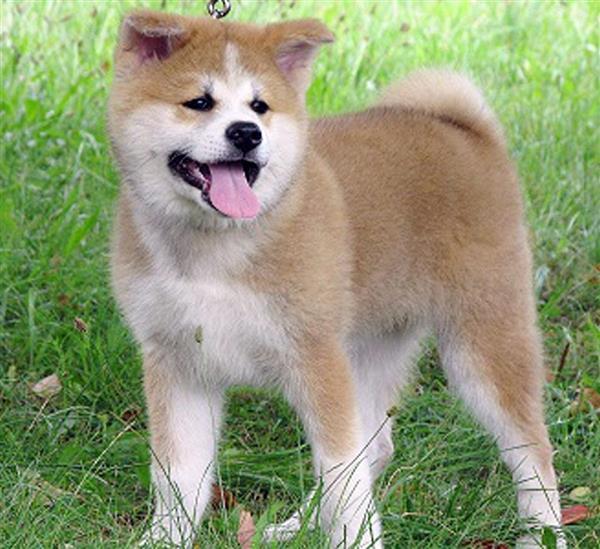 秋田県の佐竹敬久知事からロシアのプーチン大統領に贈られた秋田犬「ゆめ」。ザギトワ選手にも同じ赤毛が贈られる(県提供)