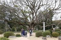 下関の名所・千年の巨木、枯死の危機