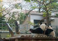 今日も上野動物園で「おはよう、シャンシャン」 ある会社員のパンダ愛あふれる日常
