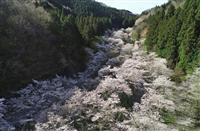 【view 写】岐阜県関市「寺尾ケ原千本桜公園」 ドローン×千本桜…谷を流れる大河の如…