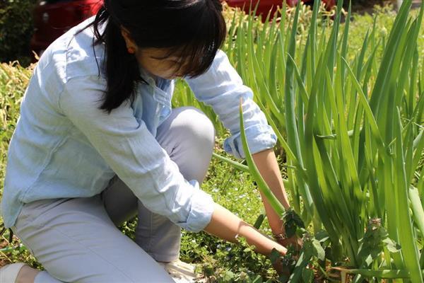 畑で長ネギを収穫する記者=9日、埼玉県所沢市山口(峯岸祐高さん撮影)