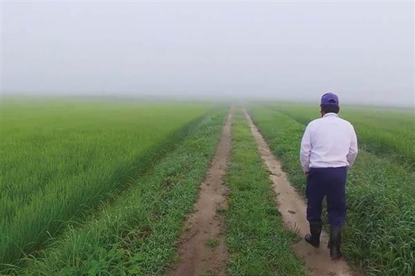 稲の育ち具合をチェックする福島県の米農家
